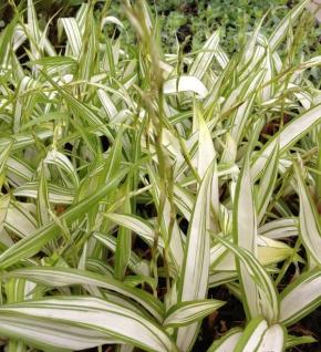 Breite Blattsegge Shiro - Carex siderosticha