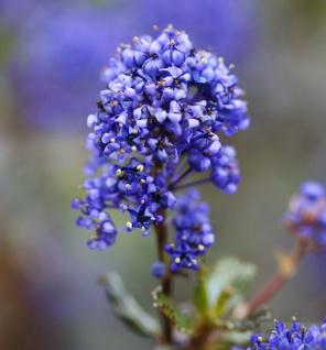 Säckelblume Blue Sapphire 20-30cm - Ceanothus impressus