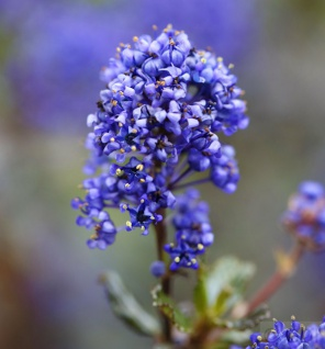 Säckelblume Blue Sapphire 30-40cm - Ceanothus impressus