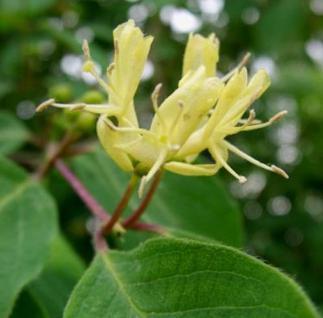Immergrüne Geißschlinge 80-100cm - Lonicera henryi