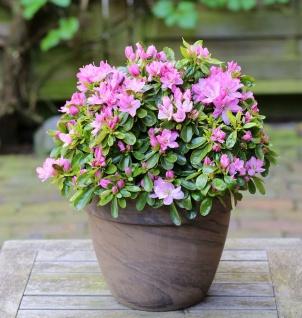 Japanische Azalee Negligee® 40-50cm - Rhododendron obtusum - Zwerg Alpenrose