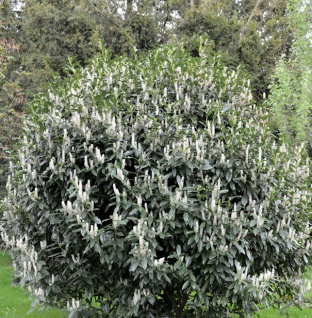 Kirschlorbeer Reynvaanii 125-150cm - Prunus laurocerasus