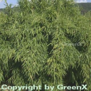 Gartenbambus Standing Stone 60-80cm - Fargesia murielae