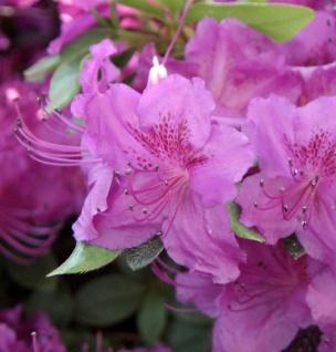 Japanische Azalee Königstein 20-25cm - Rhododendron obtusum - Alpenrose
