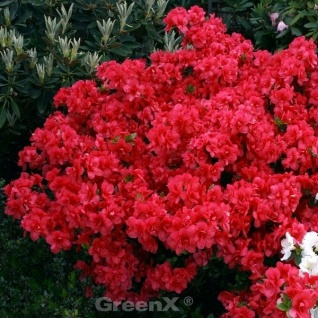 Japanische Azalee Maraschino 15-20cm - Rhododendron obtusum