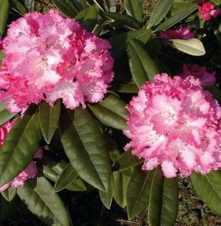 Hochstamm Rhododendron Arabella 40-60cm - Alpenrose