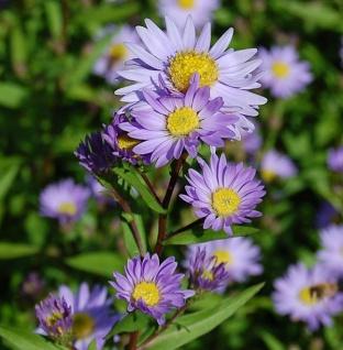 Glattblattaster Dauerblau - Aster novi belgii