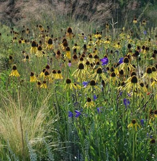 Gelber Sonnenhut - Echinacea paradoxa