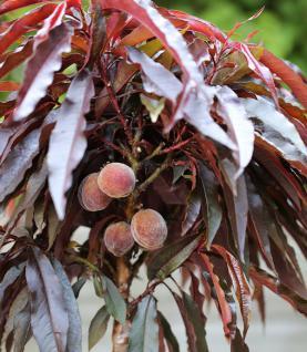 Hochstamm Pfirsich Rubira 100-125cm - Prunus persica