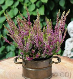 10x Besenheide Highland Rose - Calluna vulgaris