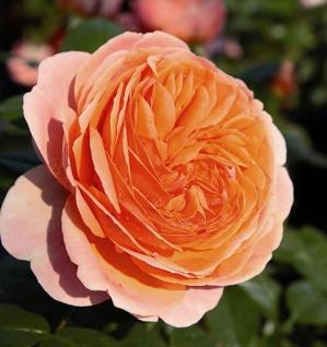 Hochstamm Rose Chippendale® 60-80cm - Tantau Rose