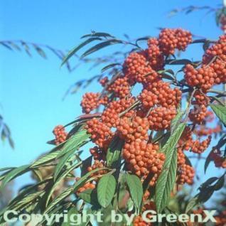 Weidenblättrige Hängemispel 100-125cm - Cotoneaster salicifolius