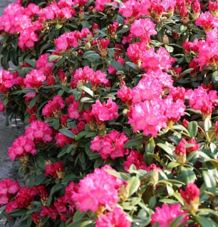 INKARHO - Großblumige Rhododendron Passion 25-30cm - Alpenrose