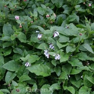Kaukasus Beinwell Wisley Blue - Symphytum grandiflorum