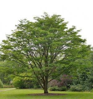 Chinesischer Surenbaum 80-100cm - Toona sinensis