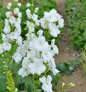Garten Rittersporn weiß - großer Topf - Delphinium magic