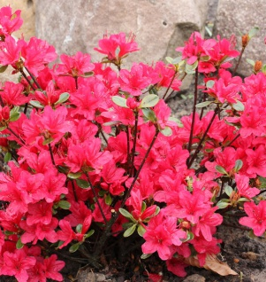 Japanische Azalee Elfie 50-60cm - Rhododendron obtusum - Zwerg Alpenrose