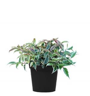 Traubenheide Whitewater 20-25cm - Leucothoe fontanesiana