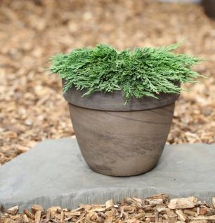 Teppichwacholder Pancake 15-20cm - Juniperus horizontalis
