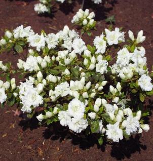 Japanische Azalee Eisprinzessin® 15-20cm - Rhododendron obtusum - Zwerg Alpenrose