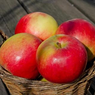 Apfelbaum Idared 60-80cm - süßsäuerliche und feste Winteräpfel