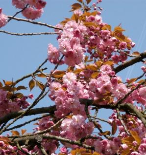 Hochstamm Hellrosa Nelkenkirsche 100-125cm - Prunus serrulata