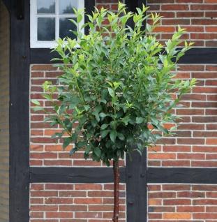Hochstamm Kugel Robinie Umbraculifera 125-150cm - Robinia pseudoacacia