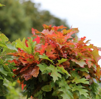 Säulen Blut Ahorn 80-100cm - Acer platanoides