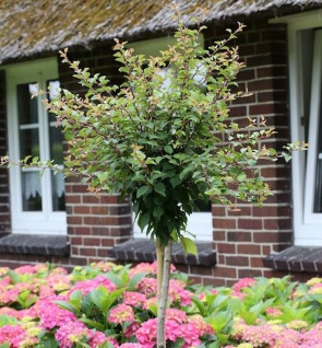 Hochstamm Geschlitzte Zierkirsche Kojou no mai 40-60cm - Prunus incisa