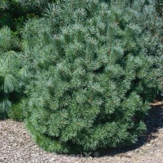 Zwerg Kiefer Sandringham 25-30cm - Pinus sylvestris