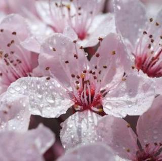 Gefüllt blühende Blutpflaume 40-60cm - Prunus cerasifera