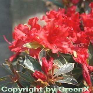 Japanische Azalee Hot Shot Variegated 30-40cm - Rhododendron obtusum - Zwerg Alpenrose