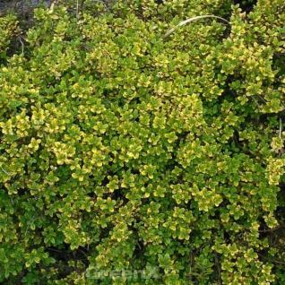Echter Zitronen Thymian Golden King - Thymus citriodorus