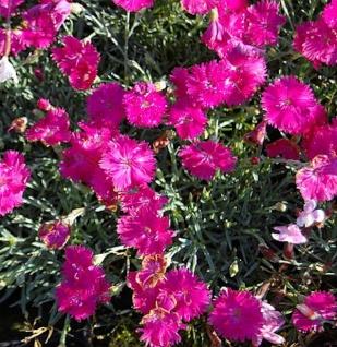 Pfingstnelke Neon Star - Dianthus gratianopolitanus
