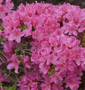 Japanische Azalee Diamant Rosa 20-25cm - Rhododendron obtusum - Zwerg Alpenrose