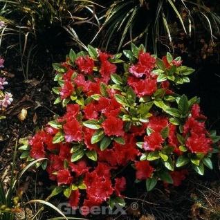 Japanische Azalee Vuyks Scarlet 30-40cm - Rhododendron obtusum - Zwerg Alpenrose