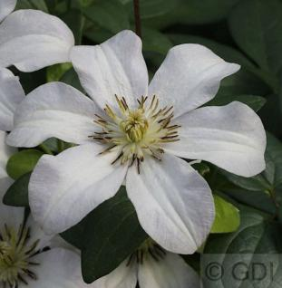 Robuste Waldrebe Huldine 100-125cm - Clematis viticella