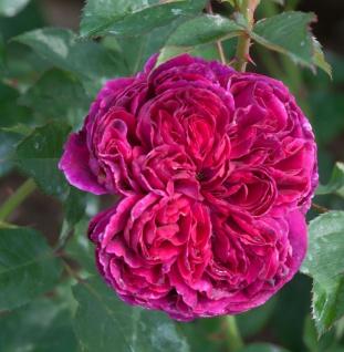 Englische Rose Falstaff 30-60cm