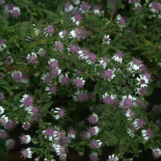 Waagerechte Herbst Aster - Aster lateriflorus