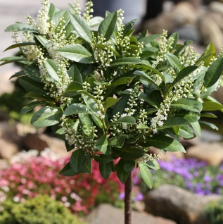 Hochstamm Zwerglorbeerkirsche Piri 125-150cm - Prunus laurocerasus
