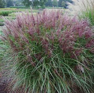 Chinaschilf Dread Locks - Miscanthus sinensis
