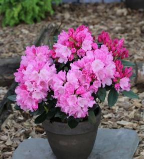 INKARHO - Rhododendron Bad Sassendorf 60-70cm - Rhododendron williamsianum