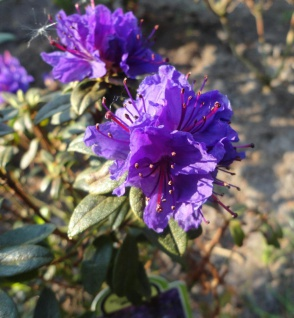 Zwerg Rhododendron Princess Anne 20-25cm Zwerg Alpenrose