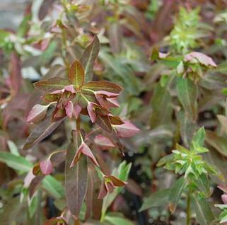 Süße Wolfsmilch Chamaeleon - Euphorbia dulcis