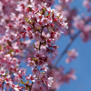Zierkirsche Okame 60-80cm - Prunus Okame