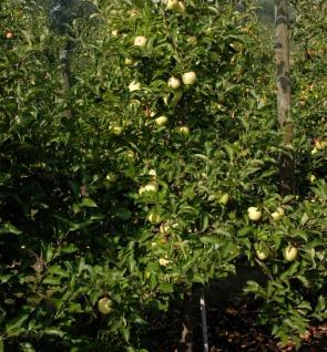 Apfelbaum Gelber Osterapfel 60-80cm - ein Lagerapfel
