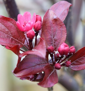 Rotlaubiger Zierapfel Scarletta 60-80cm - Malus toringo