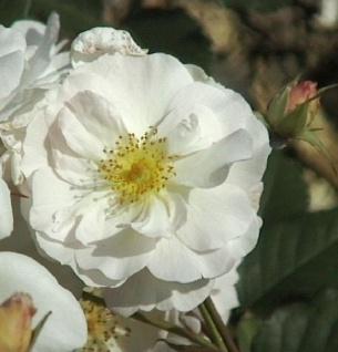 Historische Rose Penelope Pemperton 30-60cm