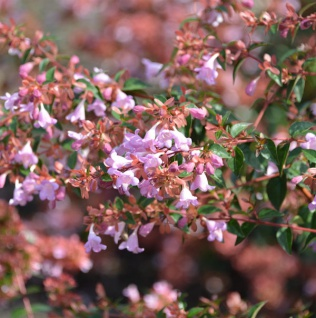 Chinesische Abelie Ping Pong 30-40cm - Abelia chinensis