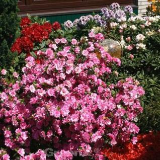 Japanische Azalee Sorpe 30-40cm - Rhododendron luteum - Zwerg Alpenrose